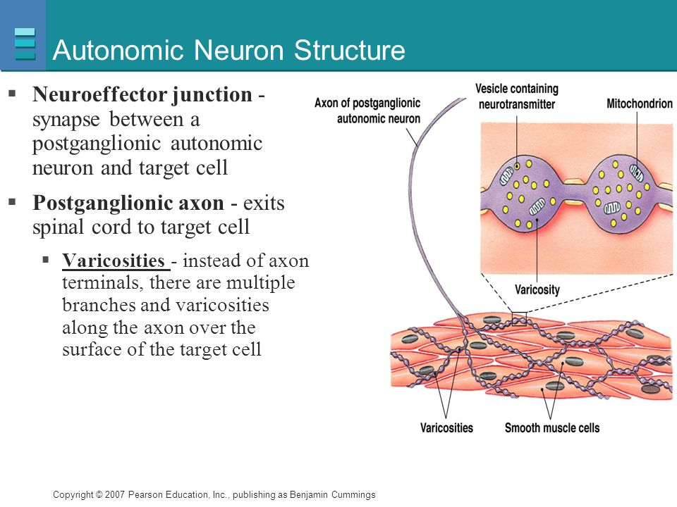 Autonomic Neuron Structure