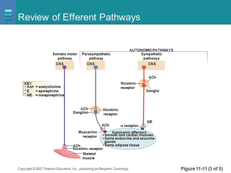 Review of Efferent Pathways