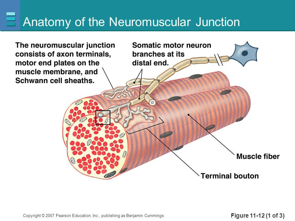 Anatomy of the Neuromuscular Junction