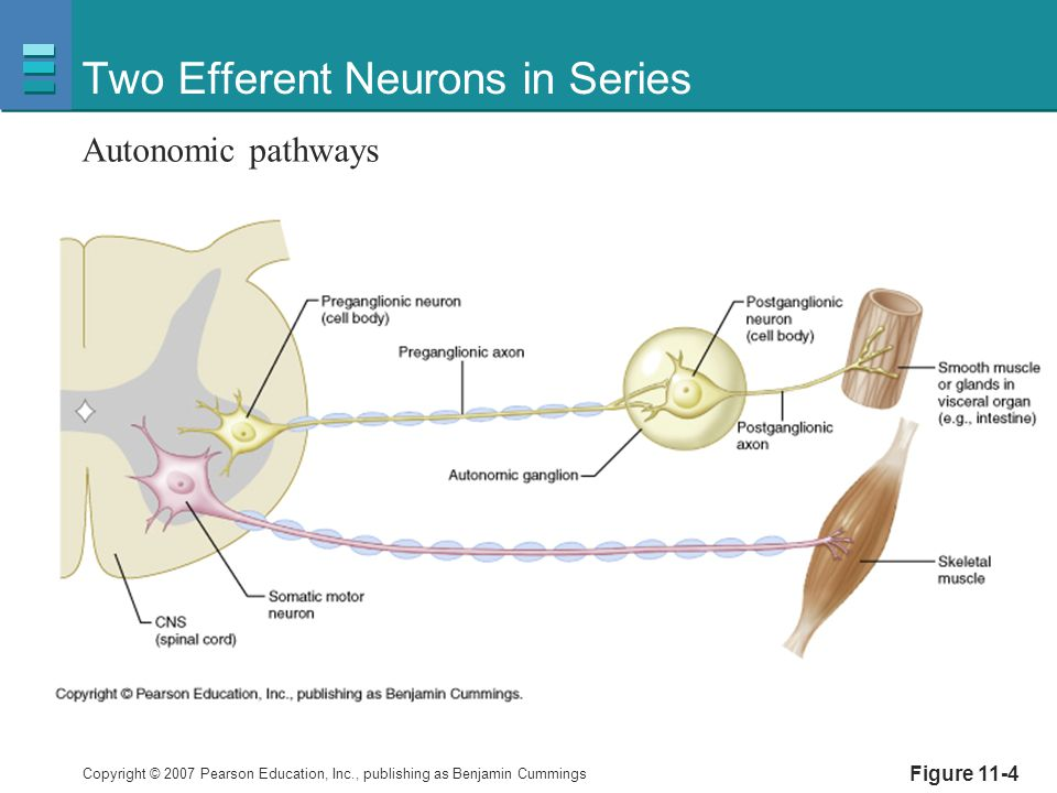 Two Efferent Neurons in Series