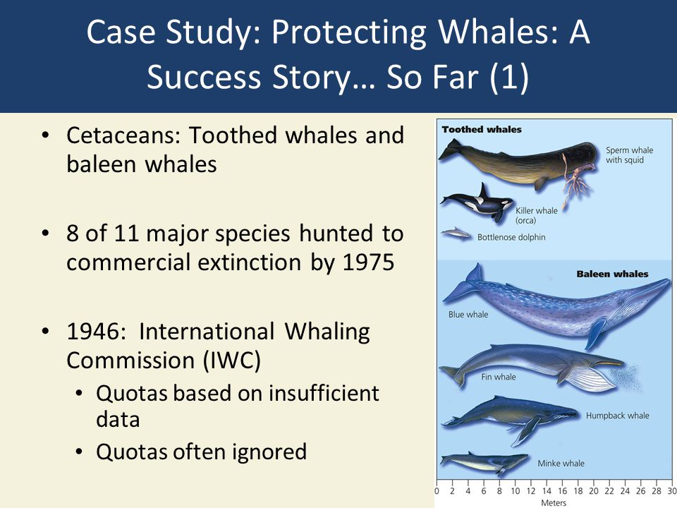 Case Study: Protecting Whales: A Success Story… So Far (1)