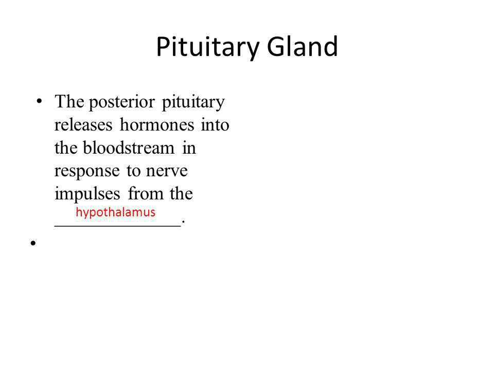 Pituitary Gland The posterior pituitary releases hormones into the bloodstream in response to nerve impulses from the _____________.