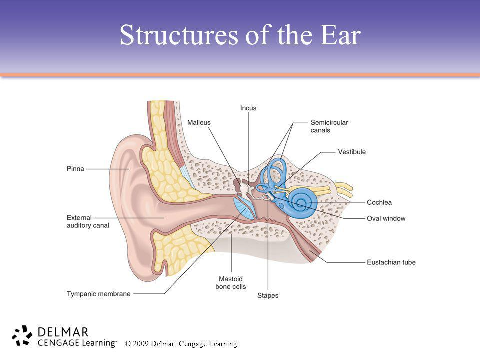 Structures of the Ear