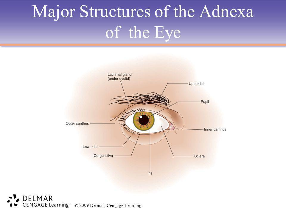 Major Structures of the Adnexa of the Eye