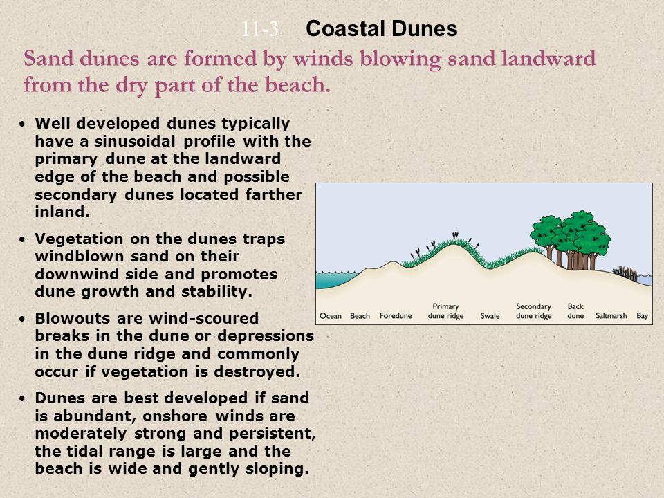 11-3 Coastal Dunes. Sand dunes are formed by winds blowing sand landward from the dry part of the beach.