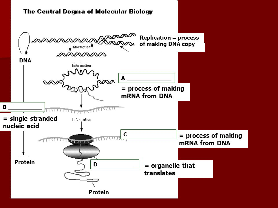= process of making mRNA from DNA