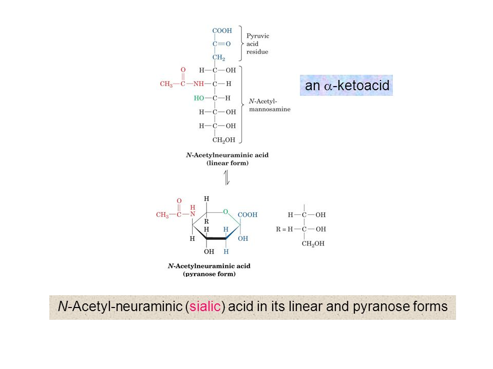 N-Acetyl-neuraminic (sialic) acid in its linear and pyranose forms
