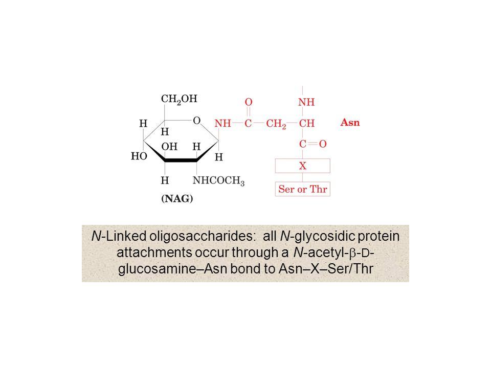 N-Linked oligosaccharides: all N-glycosidic protein attachments occur through a N-acetyl-b-D-glucosamine–Asn bond to Asn–X–Ser/Thr