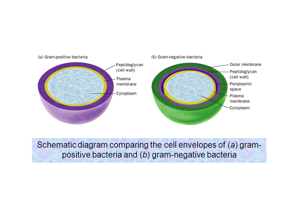 Schematic diagram comparing the cell envelopes of (a) gram-positive bacteria and (b) gram-negative bacteria