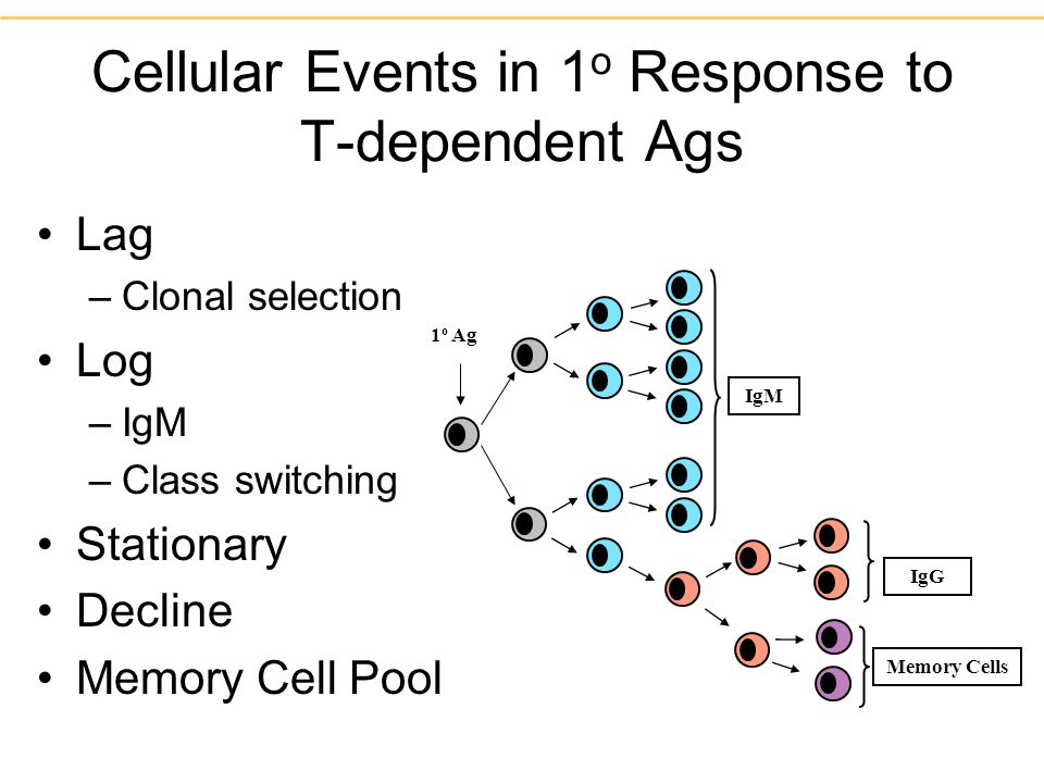 Cellular Events in 1o Response to T-dependent Ags