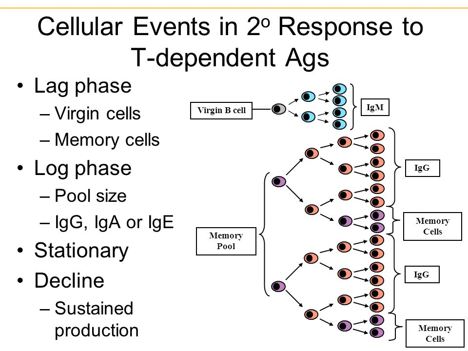 Cellular Events in 2o Response to T-dependent Ags
