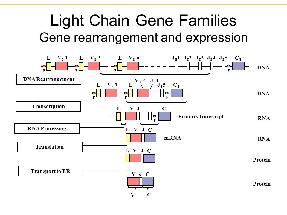 Light Chain Gene Families Gene rearrangement and expression