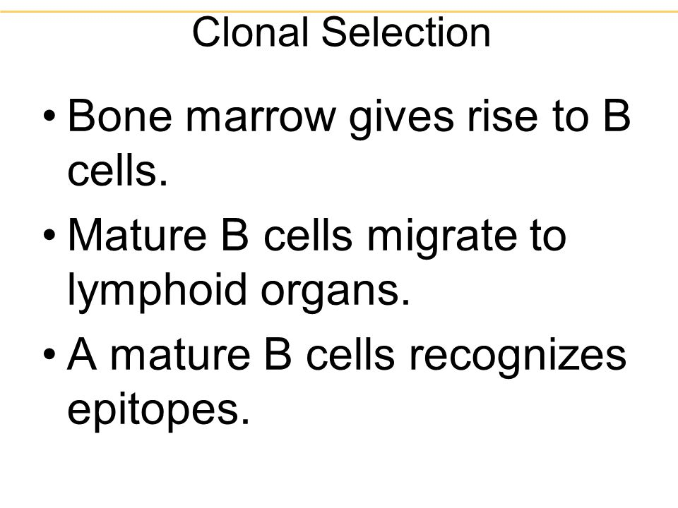 Bone marrow gives rise to B cells.