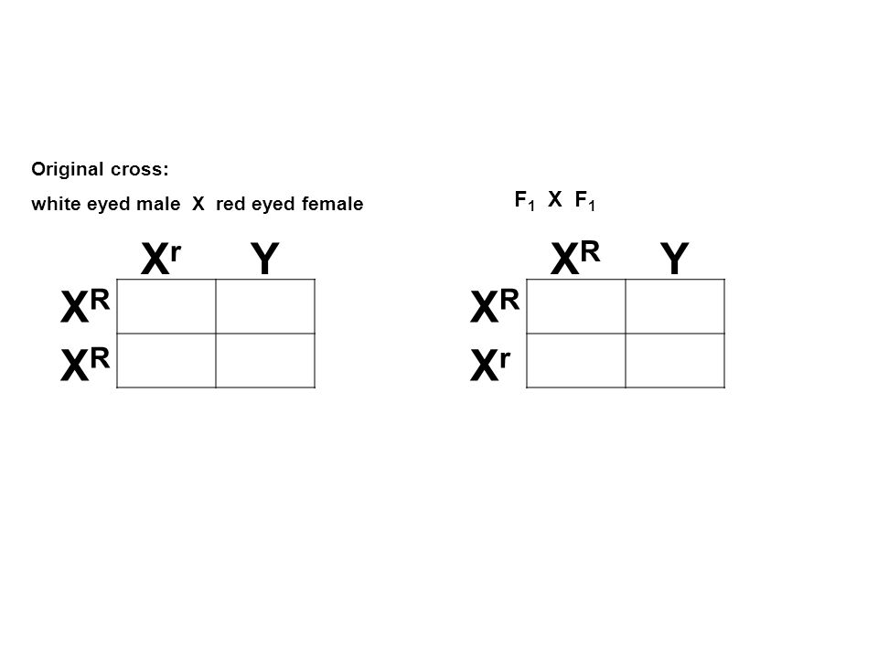 Xr Y XR Y XR XR XR Xr F1 X F1 Original cross: