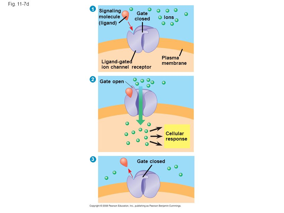 1 Signaling molecule (ligand) Gate closed Ions Plasma membrane