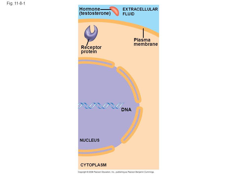 Hormone (testosterone) Plasma membrane Receptor protein DNA NUCLEUS