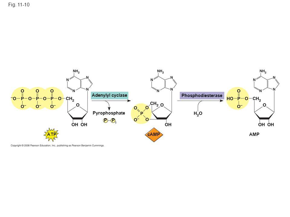 Fig. 11-10 Adenylyl cyclase Phosphodiesterase Pyrophosphate P P ATP