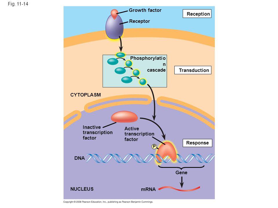 Growth factor Reception Receptor Phosphorylation cascade Transduction