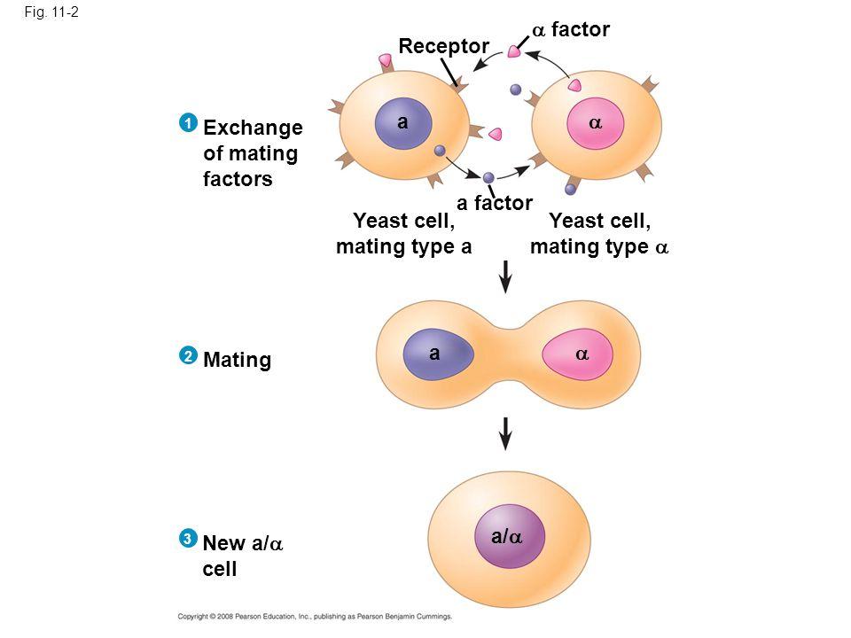 Yeast cell, mating type a Yeast cell, mating type 