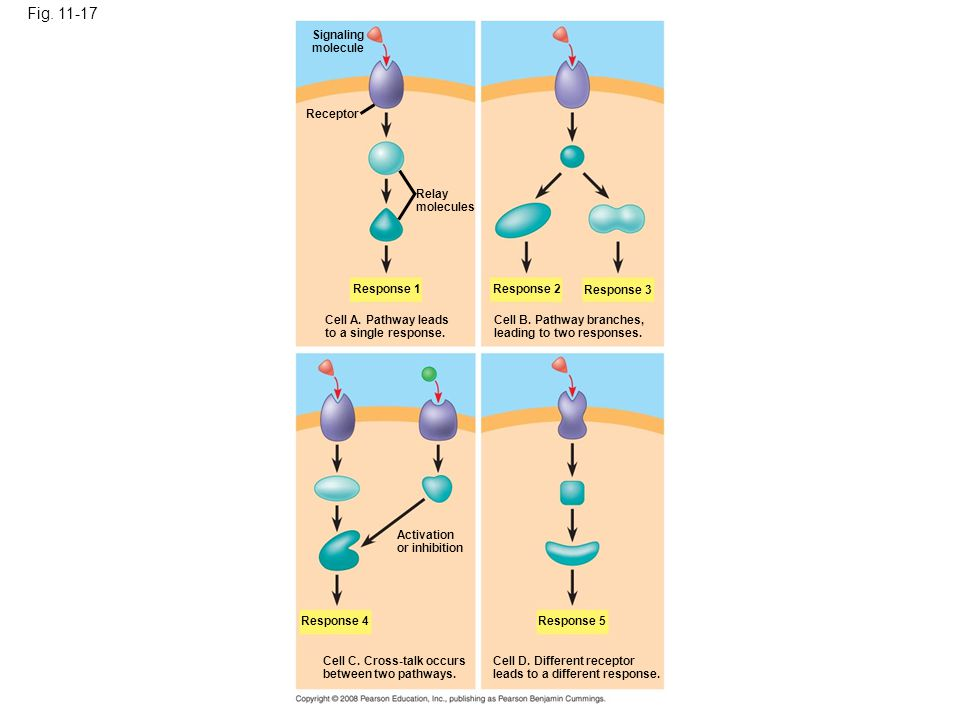 Fig. 11-17 Figure 11.17 The specificity of cell signaling Signaling