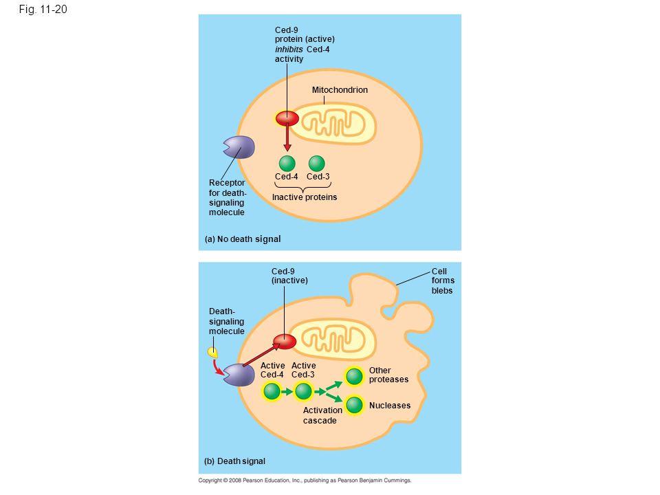 Fig. 11-20 Figure 11.20 Molecular basis of apoptosis in C. elegans