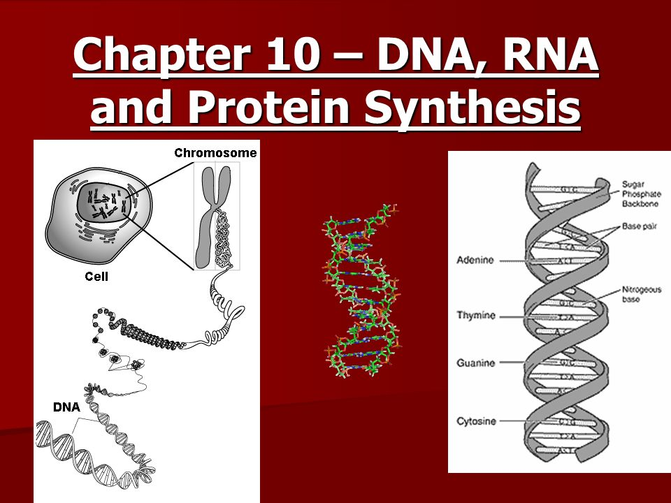Chapter 10 – DNA, RNA and Protein Synthesis