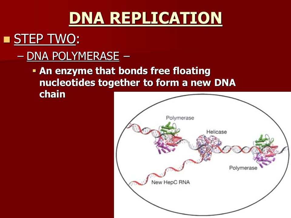 DNA REPLICATION STEP TWO: DNA POLYMERASE –