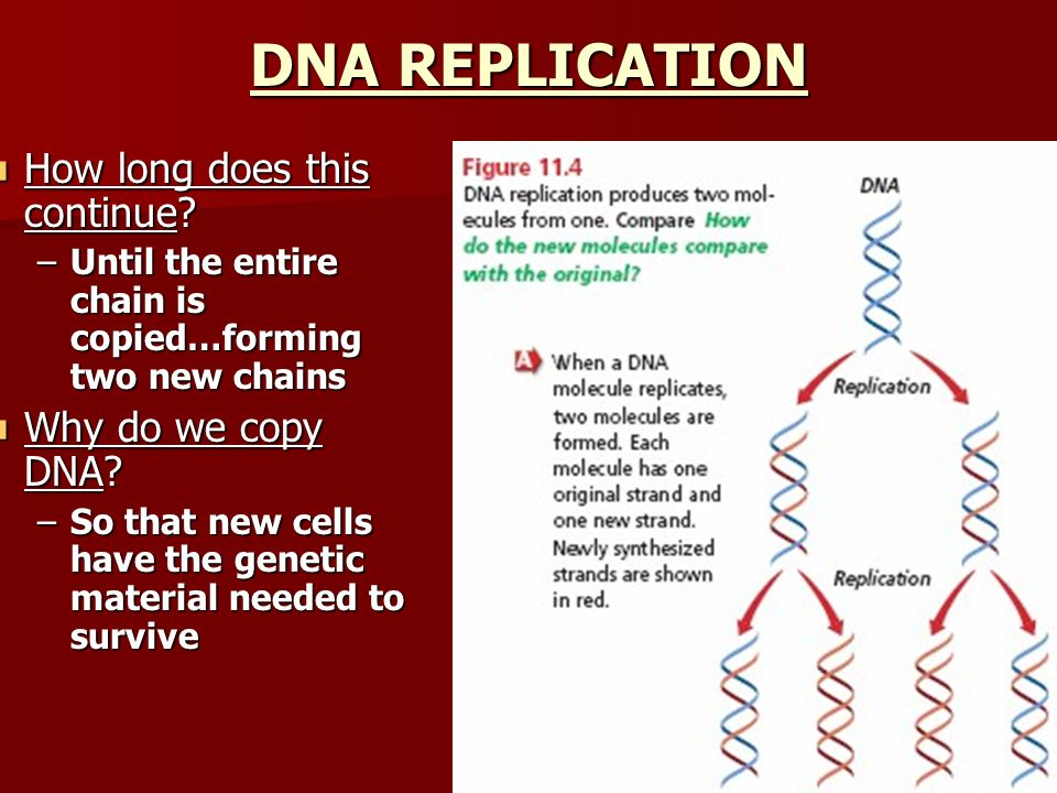 DNA REPLICATION How long does this continue Why do we copy DNA