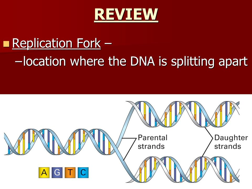 REVIEW Replication Fork – location where the DNA is splitting apart