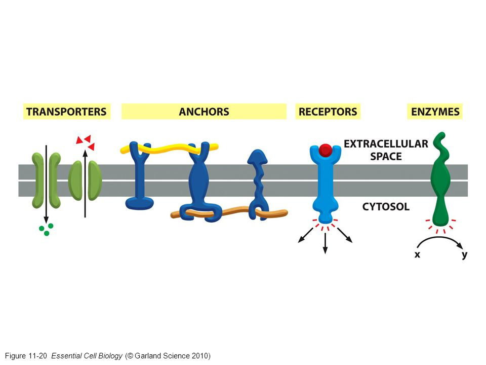 Figure 11-20 Essential Cell Biology (© Garland Science 2010)