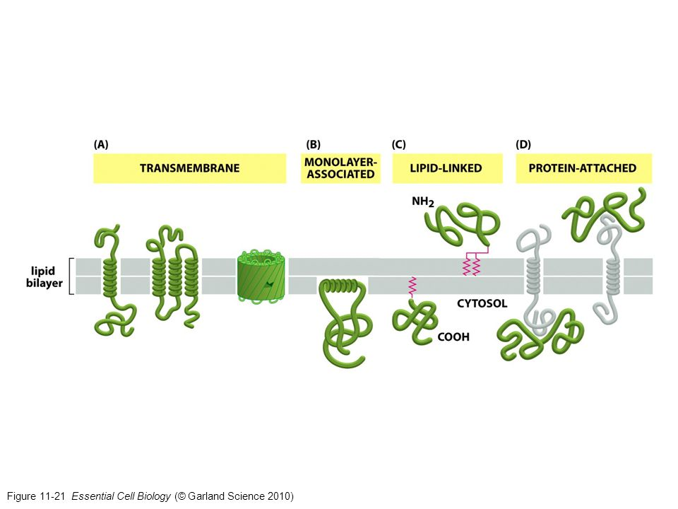 Figure 11-21 Essential Cell Biology (© Garland Science 2010)