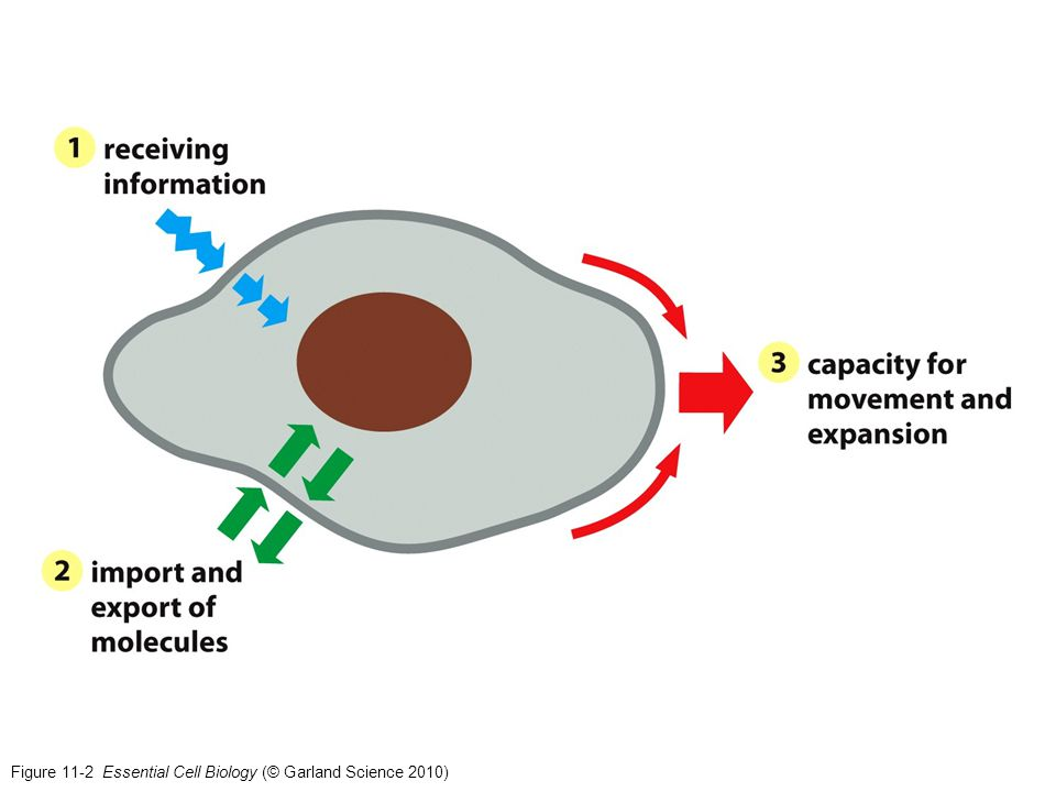 Figure 11-2 Essential Cell Biology (© Garland Science 2010)