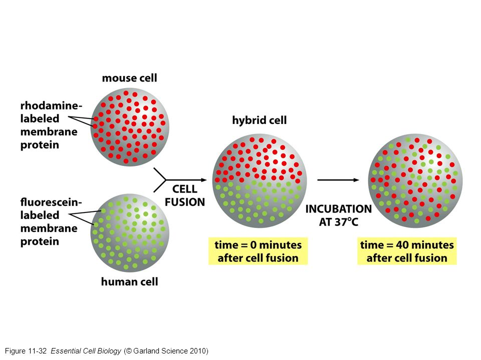 Figure 11-32 Essential Cell Biology (© Garland Science 2010)