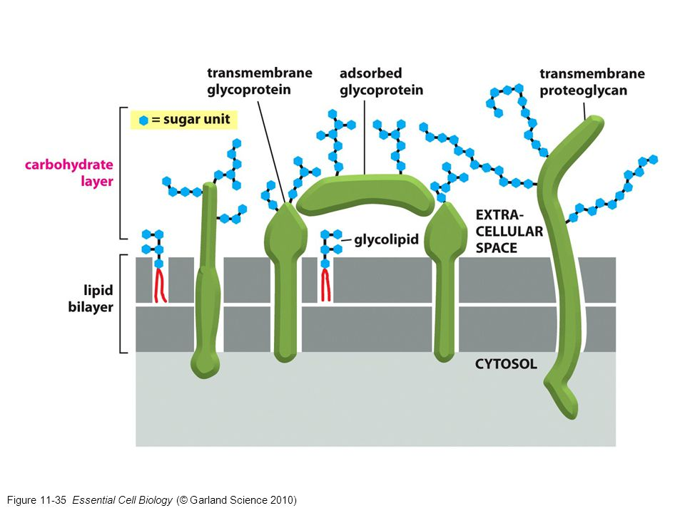 Figure 11-35 Essential Cell Biology (© Garland Science 2010)