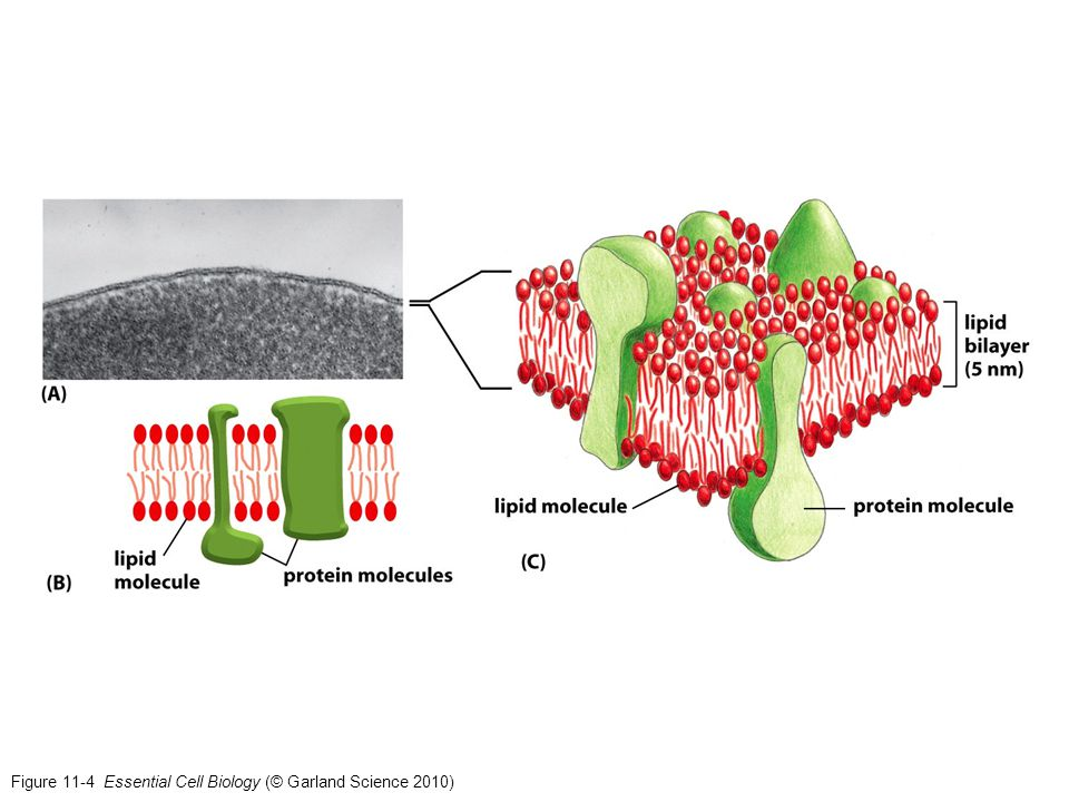 Figure 11-4 Essential Cell Biology (© Garland Science 2010)