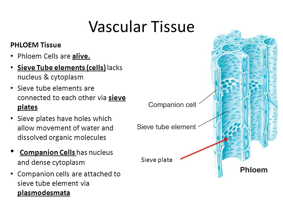 Vascular Tissue Companion Cells has nucleus and dense cytoplasm