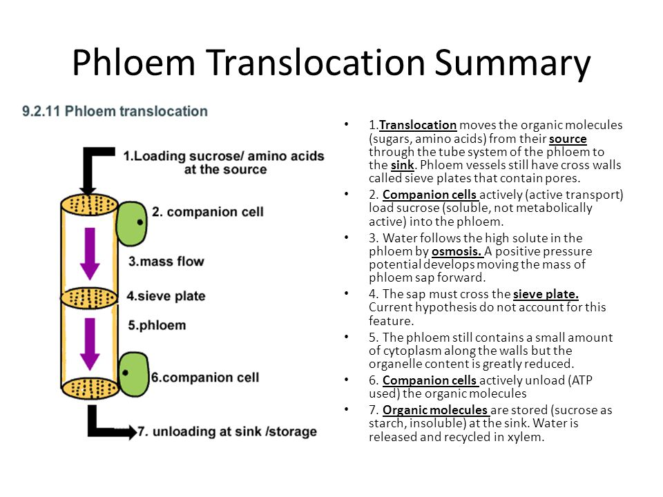 Phloem Translocation Summary