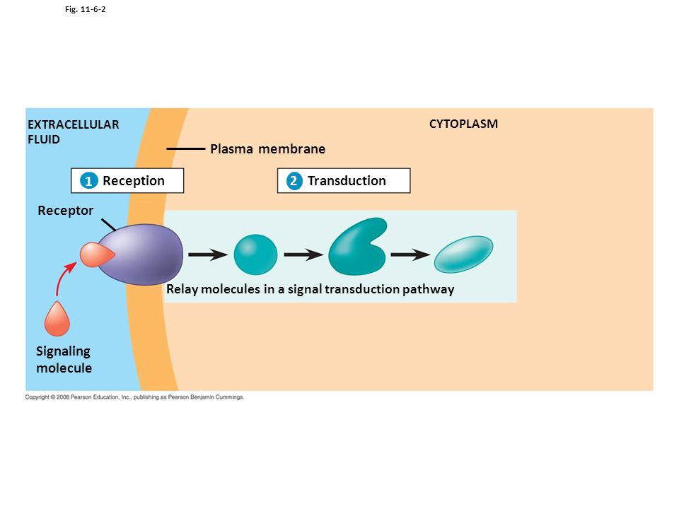 Plasma membrane 1 Reception Transduction Receptor Signaling molecule 1