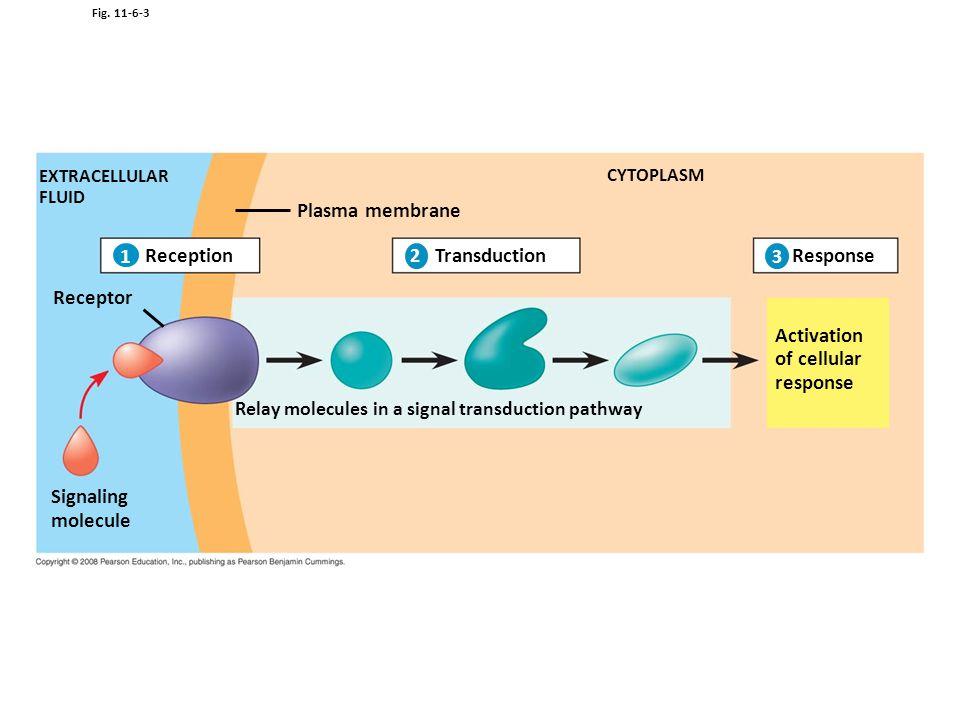 Plasma membrane 1 Reception Transduction Response Receptor Activation