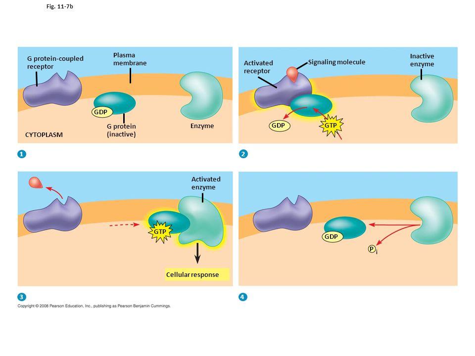 Figure 11.7 Membrane receptors—G protein-coupled receptors, part 2