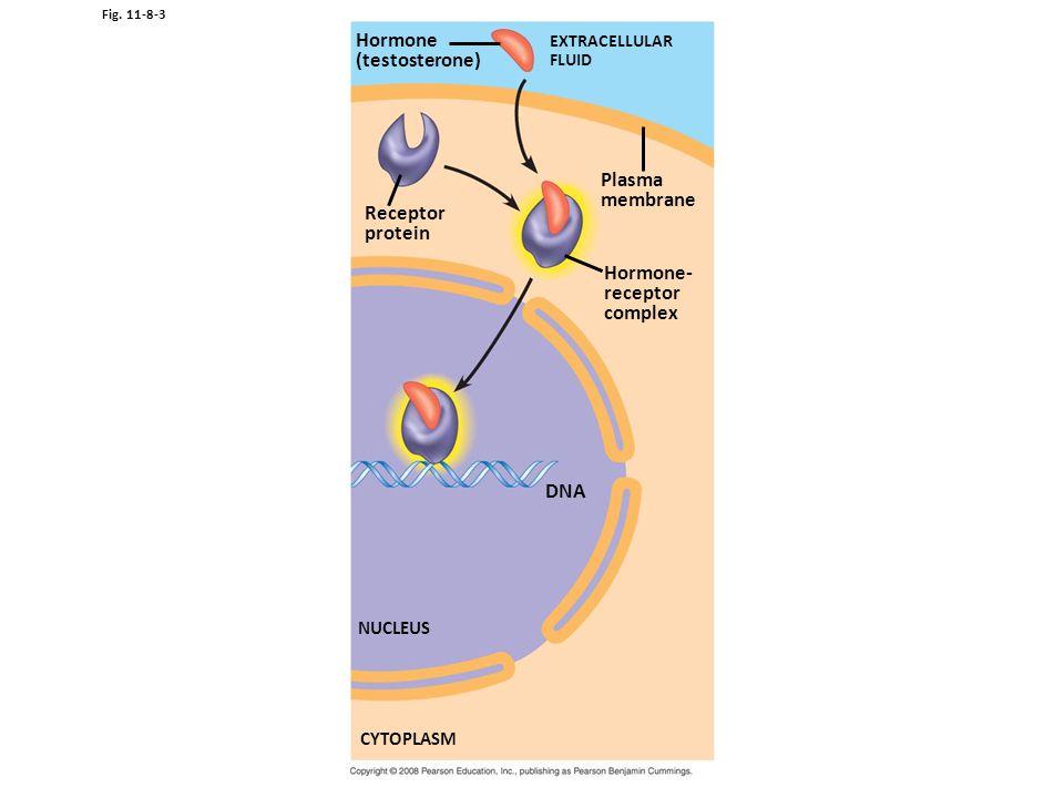 Hormone (testosterone) Plasma membrane Receptor protein Hormone-