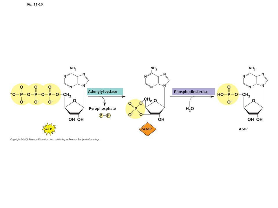 Figure 11.10 Cyclic AMP Adenylyl cyclase Phosphodiesterase