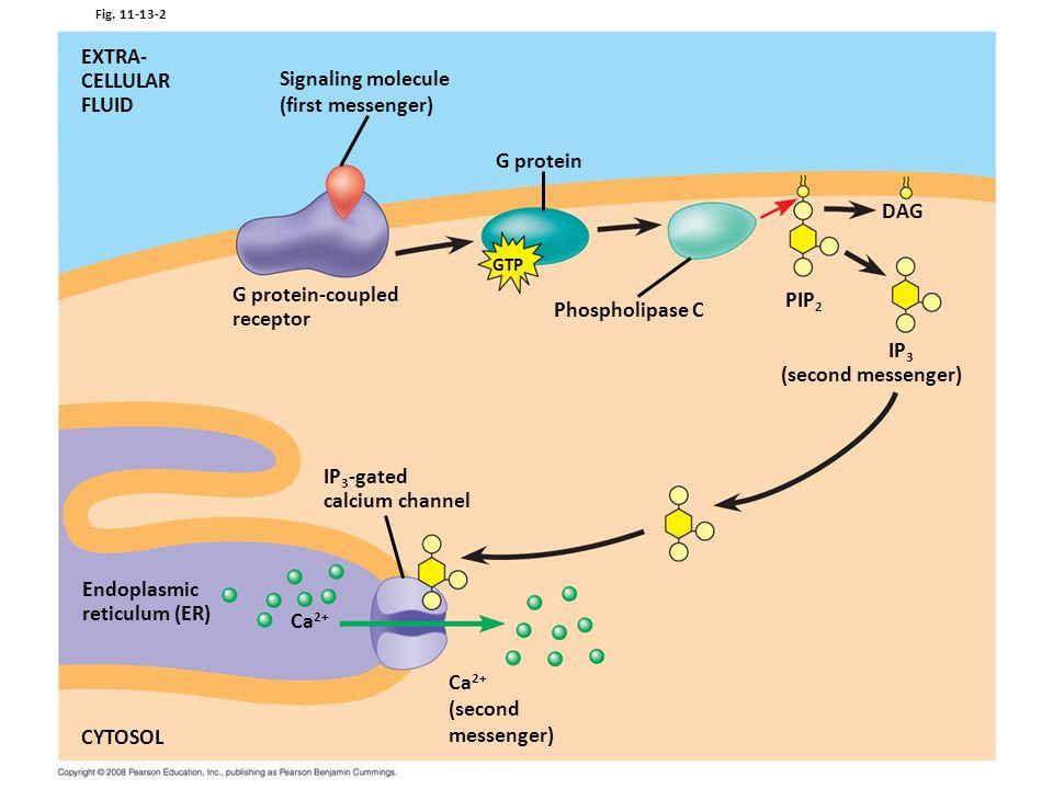 EXTRA- CELLULAR FLUID Signaling molecule (first messenger) G protein
