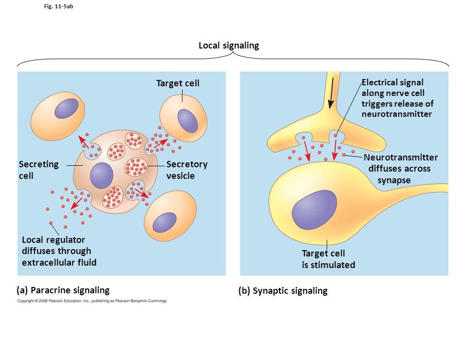(a) Paracrine signaling (b) Synaptic signaling