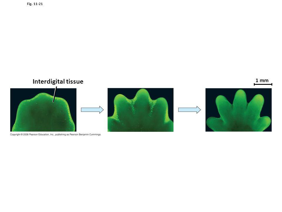 Interdigital tissue 1 mm