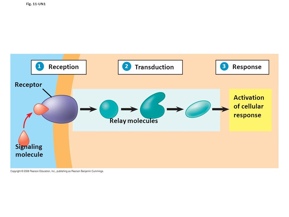 Reception Transduction Response Receptor Activation of cellular