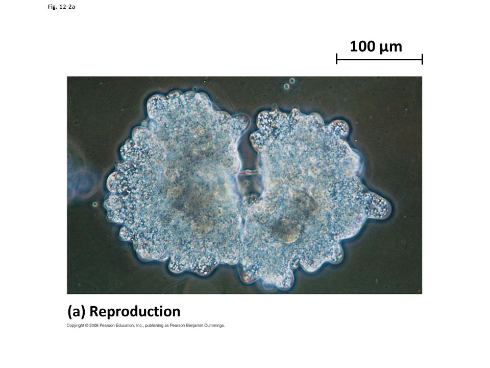 100 µm (a) Reproduction Figure 12.2 The functions of cell division