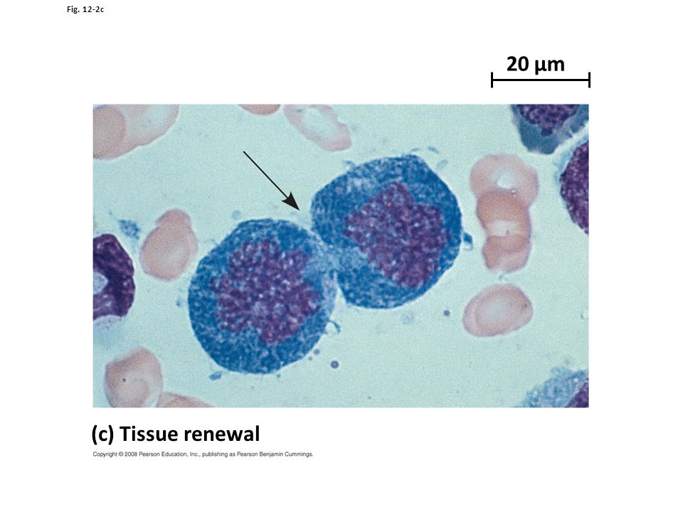 20 µm (c) Tissue renewal Figure 12.2 The functions of cell division