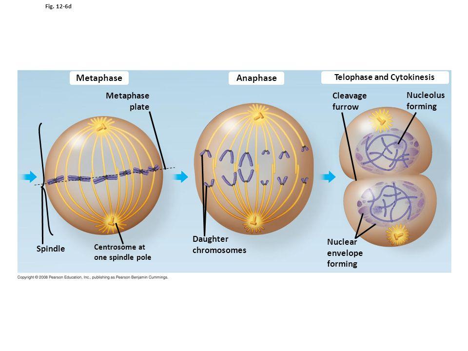 Telophase and Cytokinesis