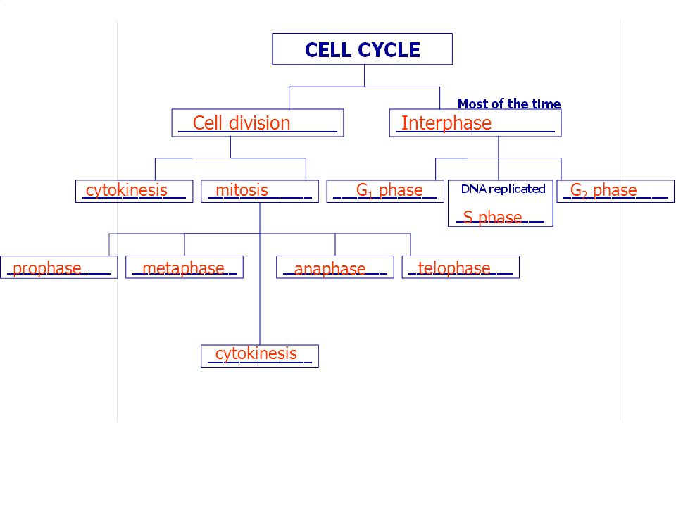 Cell division Interphase cytokinesis mitosis G1 phase G2 phase S phase
